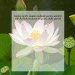 lotus41