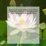 lotus51